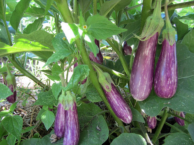 eggplant_2012