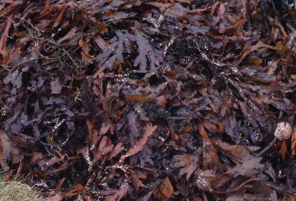 Kelp fertilizer pebble and fern market garden