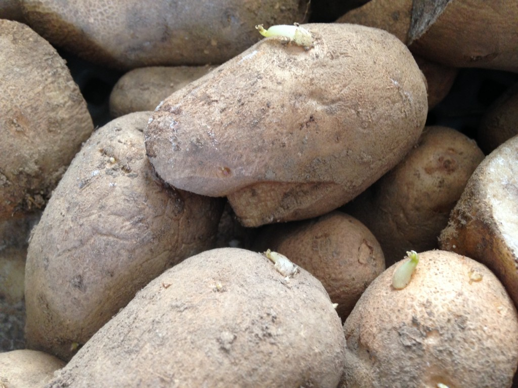 Russet Seed Potato
